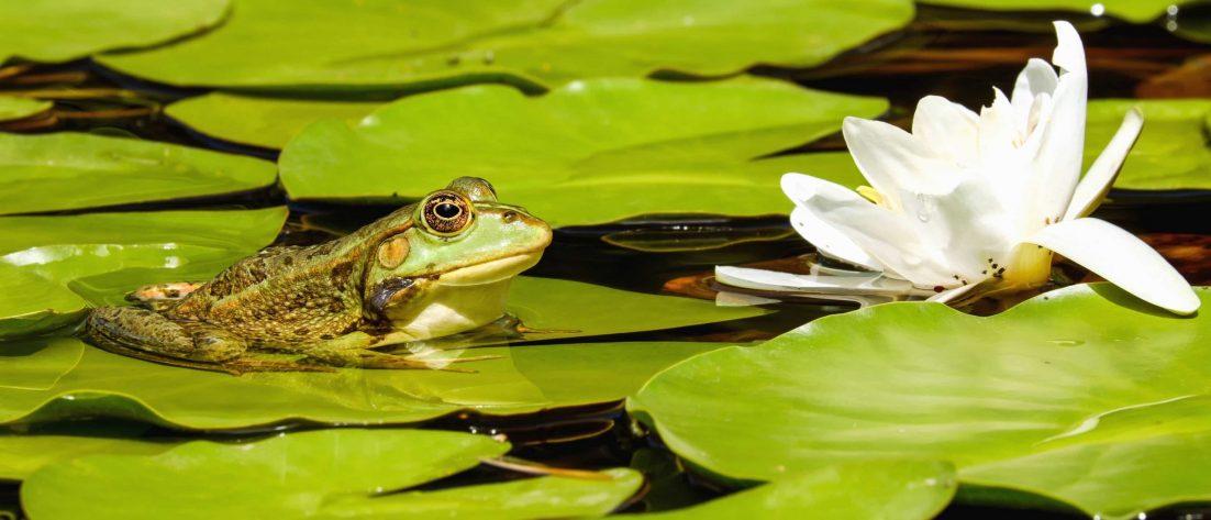 frog white lotus